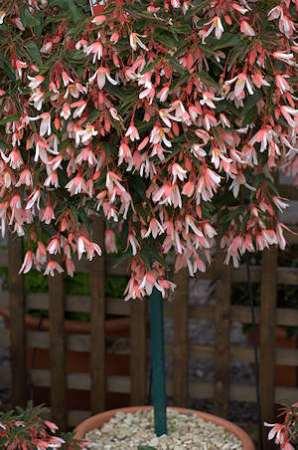 Begonia Million Kisses Elegance