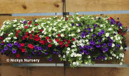 Calibrachoa Cabaret wall basket in Mixed colours