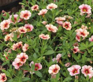 Calibrachoa Can Can Strawberry