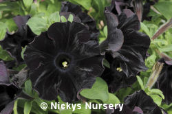The Worlds First Black Petunia - BLACK VELVET