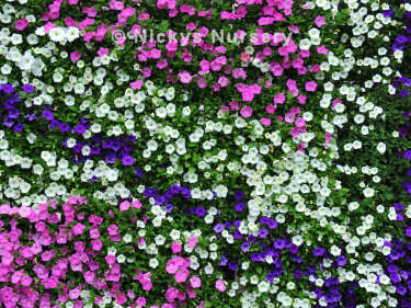 Petunia SHock Wave Wall